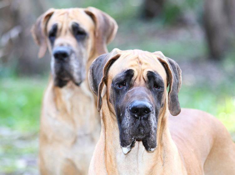 Groß und lieb sind sie – doch bevor Sie eine Deutsche Dogge kaufen, sollten Sie gut nachdenken – Shutterstock /Jesus Souto