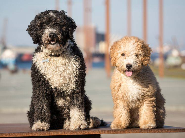 Diese zwei süßen Fellnasen sind spanische Wasserhunde und können für Allergiker geeignet sein – Shutterstock / Daz Stock