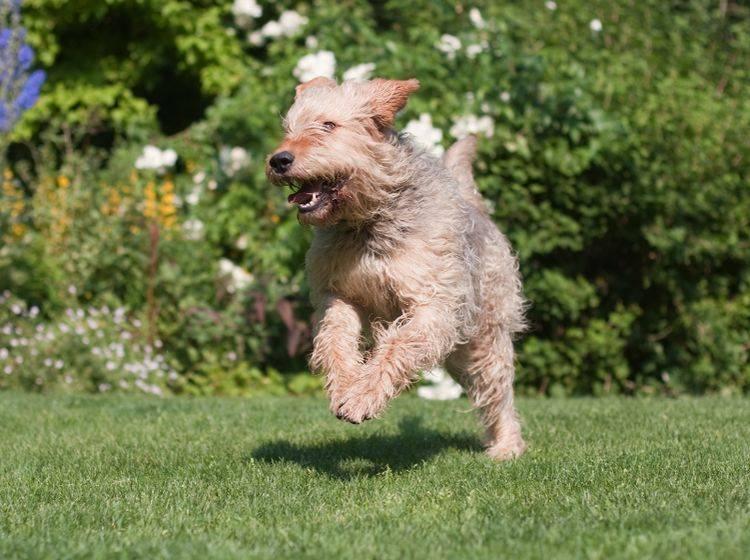 Ein Garten ist für einen Hund wunderbar; am besten sollte dieser über einen klassischen Gartenzaun und nicht über einen elektrischen verfügen – Shuttertsock / Christian Mueller