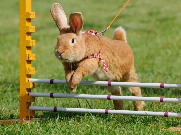 Kaninchen, Hasen und andere Hasenartige können Tricks lernen – überforden sollten Sie die Langohren jedoch niemals – Shutterstock / anetapics