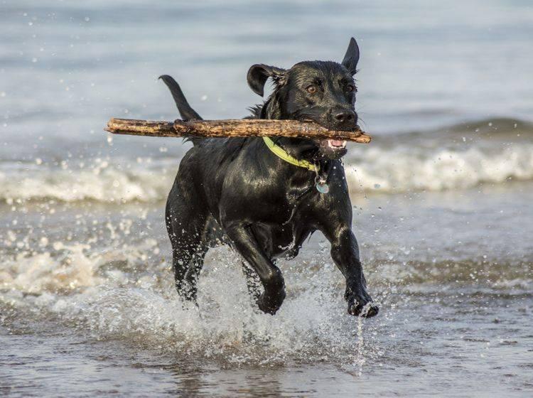 Labrador Retriever lieben es besonders, Gegenstände aus dem Wasser zu holen – Shutterstock / stuart renneberg