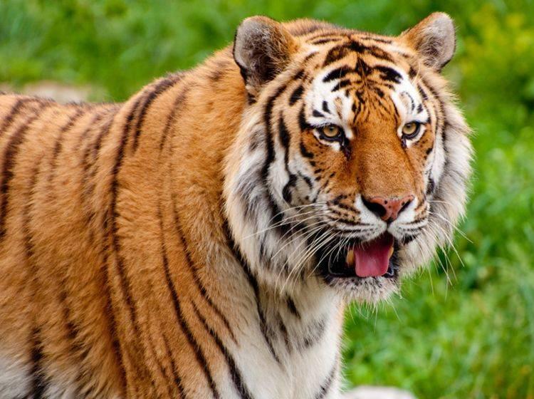 Gerade einmal rund 4 Prozent trennen die DNA des Sibirischen Tigers von der unserer geliebten Hauskatzen – Shutterstock / RuthChoi