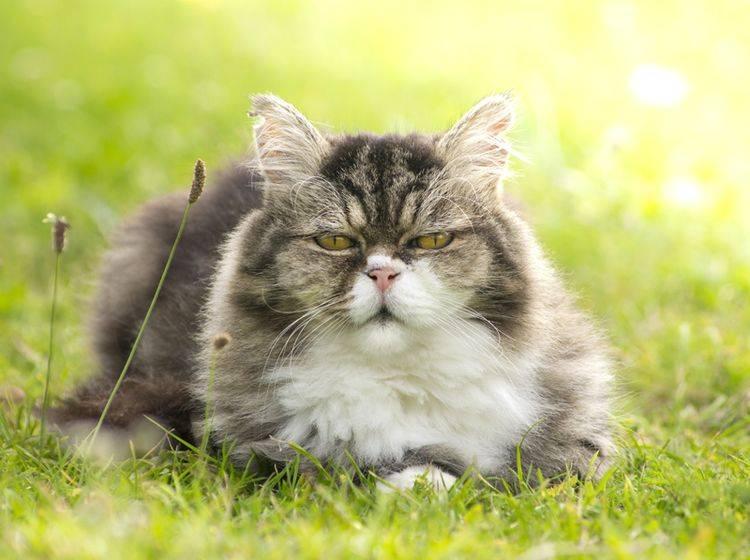 Naturheilmittel können für alte Katzen eine tolle Ergänzung für die Gesundheit sein – Shutterstock / VICUSCHKA
