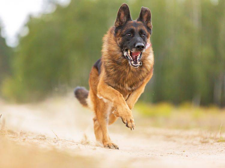 Wenn ein Hund Ihnen so entgegenläuft, heißt es: Ruhe bewahren! – Shutterstock / AsyaPozniak