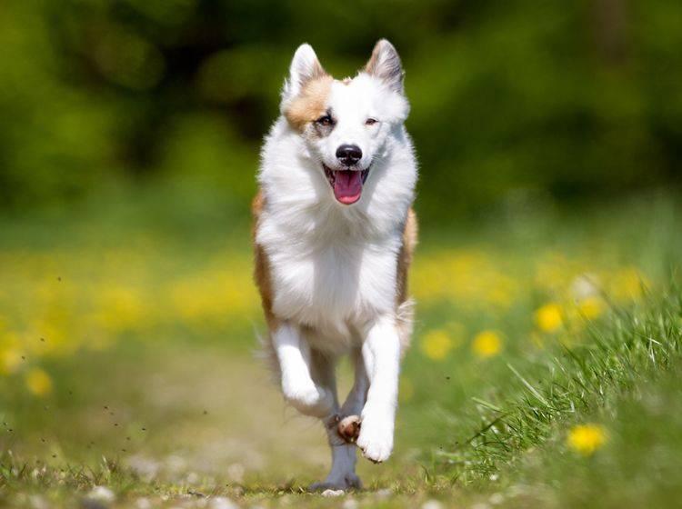 """""""Hasch mich, ich bin der Frühling!"""": Dieser Islandhund hat keine Probleme mit Heuschnupfen – Shutterstock / Mikkel Bigandt"""