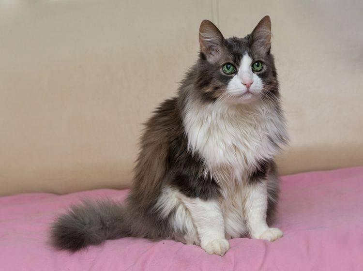 Wenn Katzen plötzlich ins Bett pinkeln, stimmt etwas mit ihnen nicht – Shutterstock / Okssi