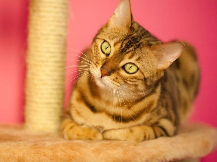 Bengal-Katzen sind intelligent, lebhaft und brauchen viel Aufmerksamkeit – Shutterstock / Shvaygert Ekaterina