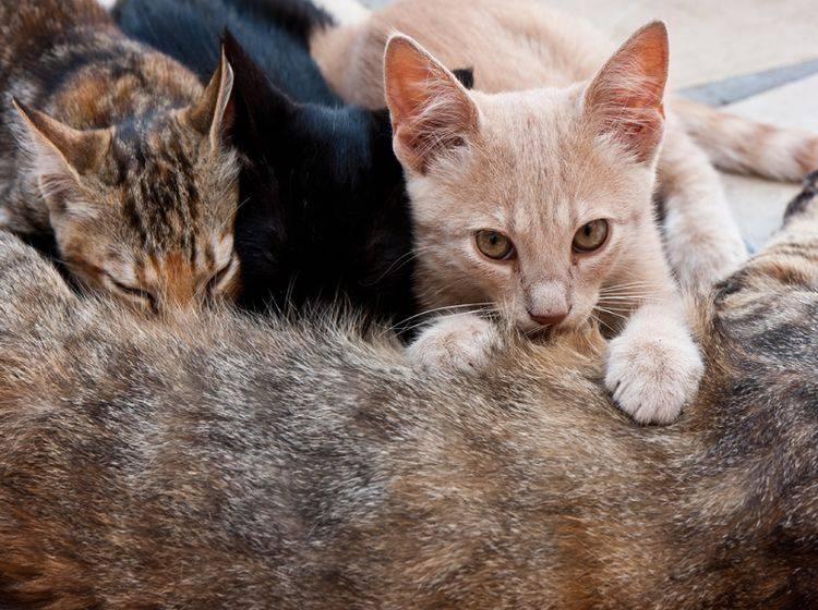 Den Milchtritt machen kleine Kätzchen bereits instinktiv bei ihrer Katzenmama – Shutterstock / photoshooter2015