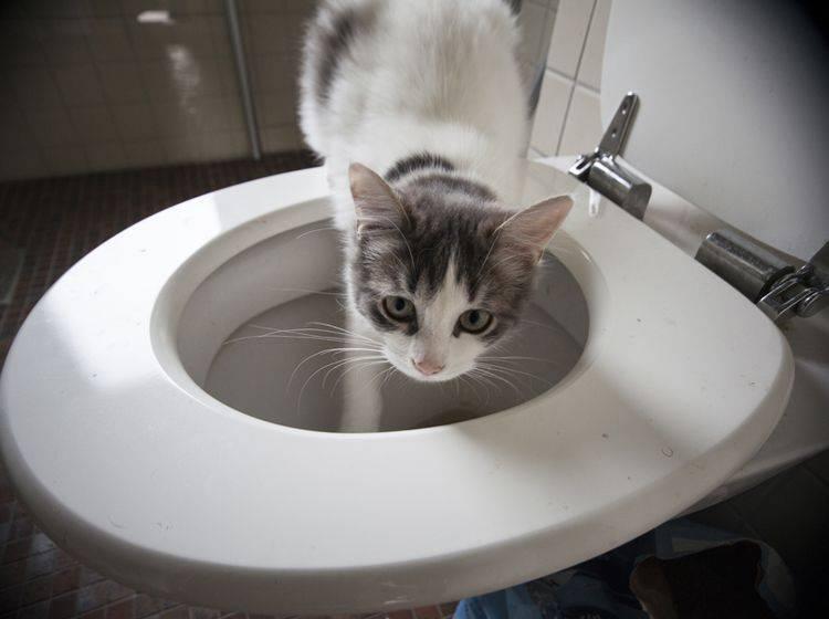 Hoppla! Diese durstige Katze wurde auf frischer Tat ertappt – Shutterstock / Olivia Lorot