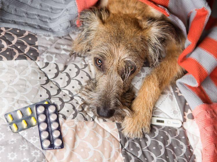 Schmerzmittel für Menschen sind für Hunde viel zu hoch dosiert und in der Regel giftig – Shutterstock / Kazantseva Olga