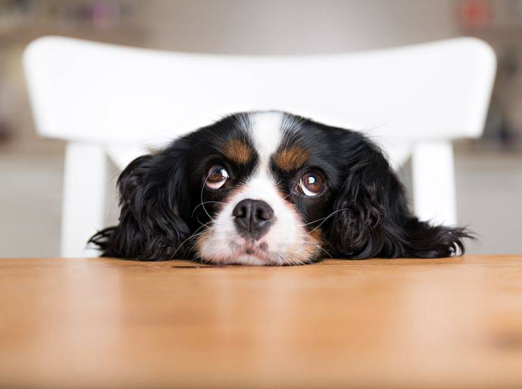 """""""Aber ich mag doch das Steak!"""": Süßer Hund hätte gern ein Stück vom leckeren Rinderfilet – Shutterstock / Fotyma"""