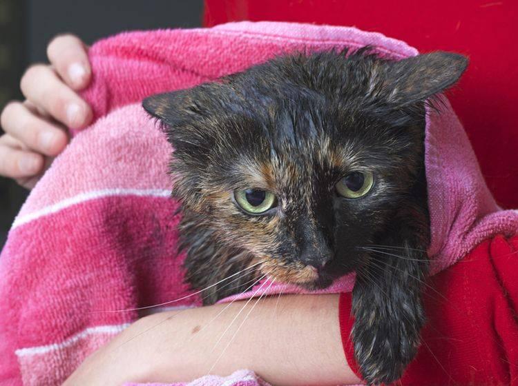 Diese Schildpatt-Katze zeigt nach einem Bad Anzeichen von Stress: angelegte Ohren, geduckte Haltung, geweitete Pupillen – Shutterstock / Sheila Fitzgerald