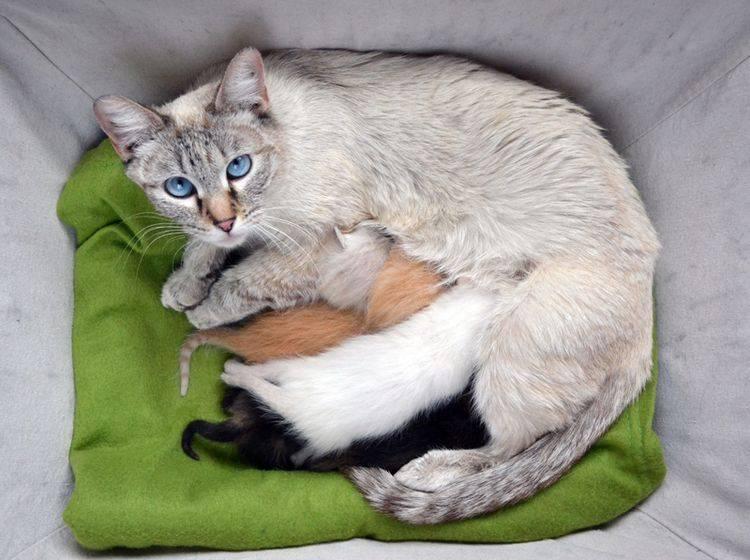 In ihrer Wurfkiste hat es diese Siamkatzenmama mit ihren Katzenbabys richtig gemütlich – Shutterstock / MW47