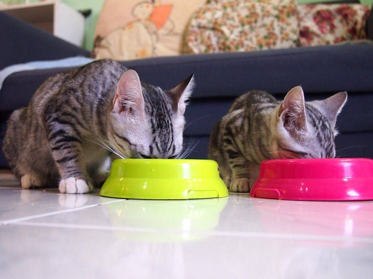 So friedlich nebeneinander zu fressen, funktioniert nicht in jedem Mehrkatzenhaushalt problemlos – Shutterstock / CssAndDesign