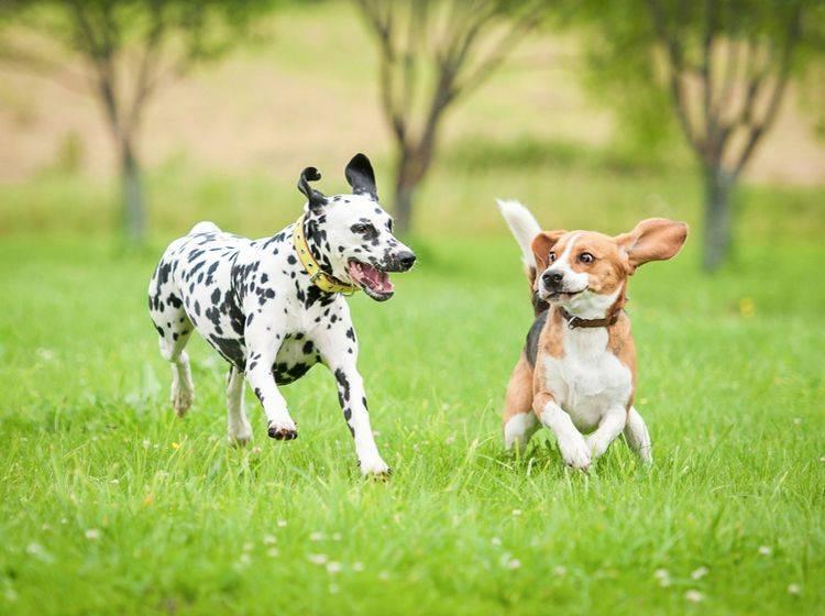 Wenn Hunde sich gegenseitig jagen, herumtoben und freudig fangen, sieht man ihnen den Spaß immer an! – Shutterstock / Rita Kochmarjova