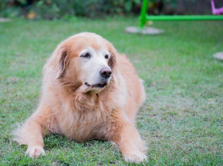 Einige Hunderassen wie Golden Retriever neigen besonders zu Übergewicht, da sie sehr gerne und sehr viel futtern – Shutterstock / mantinov