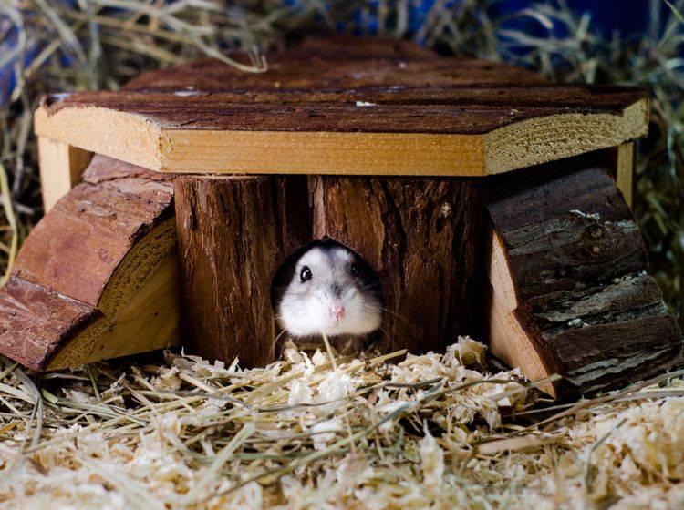 Ein schönes, ruhiges Schlafhaus für Ihre Hamster ist wichtig für das Wohlbefinden der Nager – Shutterstock / mswald