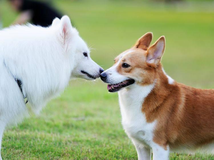 """""""Hey, du kommst mir irgendwie bekannt vor. Lass uns eine Runde spielen!"""" – Begegnungstraining für Hunde kann Wunder bewirken – Shutterstock / Bildagentur Zoonar GmbH"""