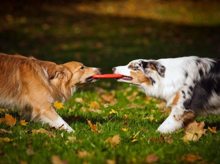 Häufig regeln Hunde Probleme untereinander selbst – gelegentlich hat es aber keinen Zweck und Hundehalter sollten eingreifen – Shutterstock / Ksenia Raykova