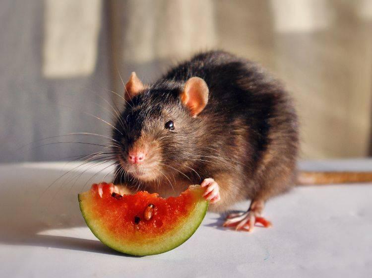 Geben Sie Ihrer Ratte täglich Frischfutter in Form von Obst und Gemüse – Shutterstock / Polina Truver