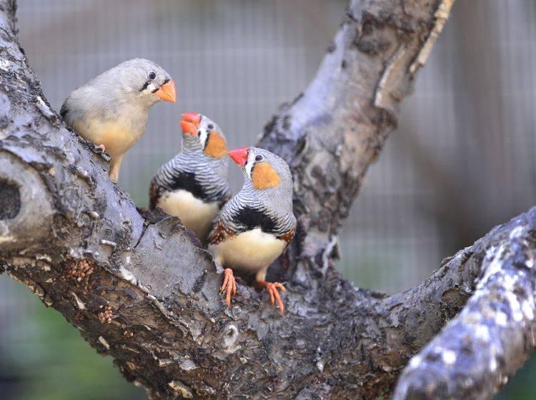 Zebrafinken nehmen sich besonders viel Zeit für einen sorgfältigen Gesangsunterricht ihrer Jungvögel – Shutterstock / Wang LiQiang