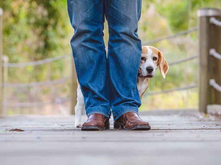 """""""Beschütz mich, Herrchen. Die anderen Hunde sind gemein zu mir!"""": Wenn Hunde Angst vor Artgenossen haben, sollten Sie das ernst nehmen – Shutterstock / Kellymmiller73"""