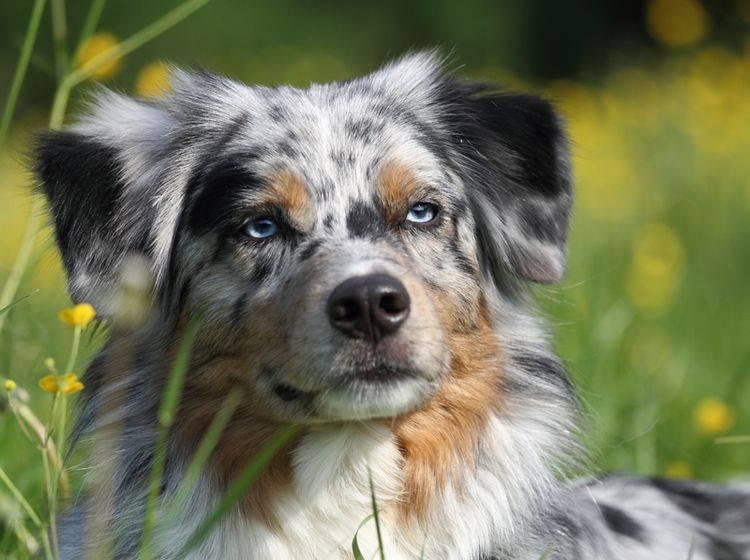 Für gewöhnlich gilt der Australian Shepherd als gesunde Rasse; ein paar mögliche Erbkrankheiten gibt es dennoch – Shutterstock / Bildagentur Zoonar GmbH