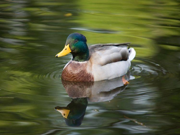 Auch wenn es verlockend ist: Füttern Sie Enten nicht unbedacht mit Brotresten – Shutterstock / Maslov Dmitry