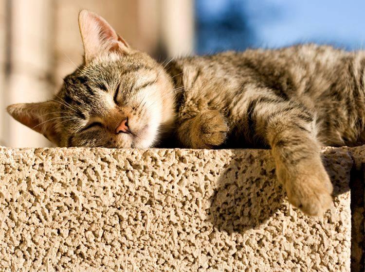 Ach, so ein Sonnenbad ist doch etwas Feines, findet diese Genießerkatze – Shutterstock / Jelena990