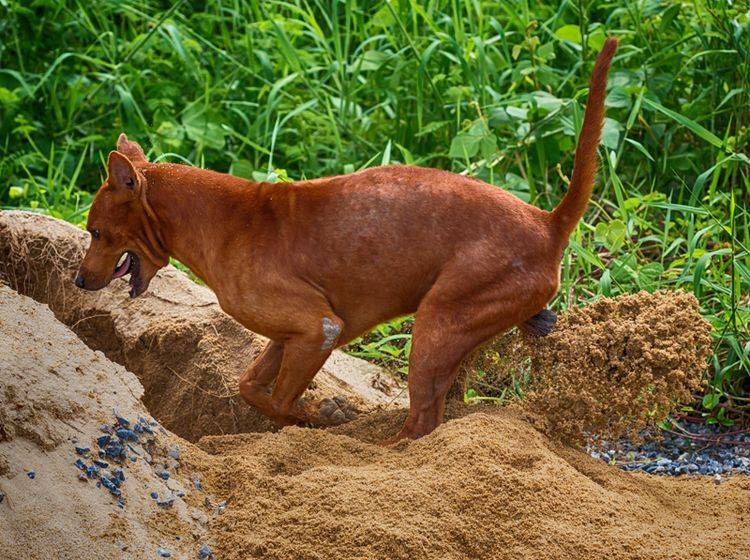 """""""Huuuiii, das macht Spaß"""", findet dieser Hund bei der Gartenarbeit – Shutterstock / pittaya"""