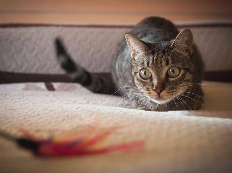 Katze kurz vorm Angriff: Beute fest im Blick, absprungbereit machen uuund ... Popowackeln – Shutterstock / Ramon Espelt Photography