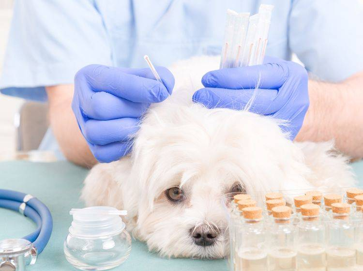 Akupunktur für Hunde kann zum Beispiel gegen Stress helfen – Shutterstock / Monika Wisniewska