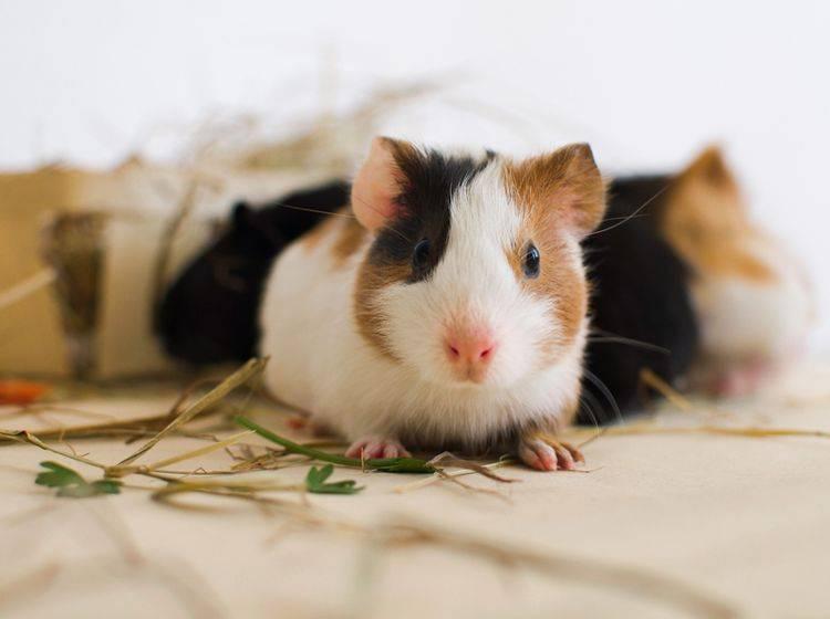 Dieses kleine Meerschweinchenbaby darf noch ein bisschen weiterwachsen – Shutterstock / VelP