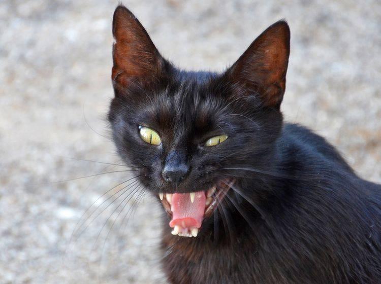 Ob Aberglaube oder nicht: Bei dieser wütenden Katze sollte man auf Abstand gehen – Shutterstock / nico99