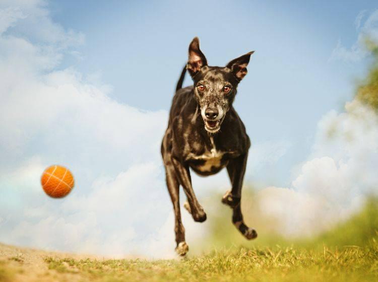 Fließender Übergang zu Suchtverhalten: Hat der Hund noch Spaß am Spiel oder ist er davon besessen? – Shutterstock / Best dog photo