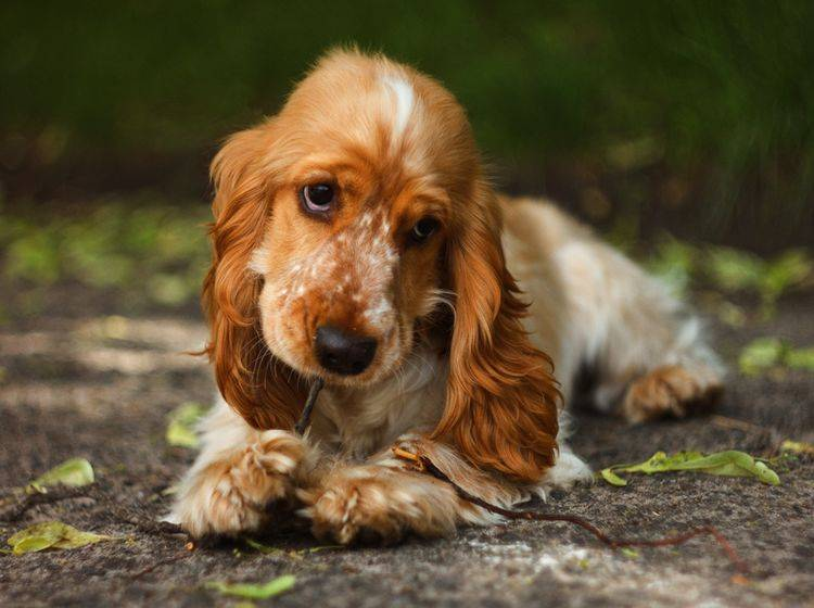 Und wenn er noch so niedlich guckt: Impulskontrolle sollten auch süße Hundewelpen bereits lernen – Shutterstock / Garnet Photo