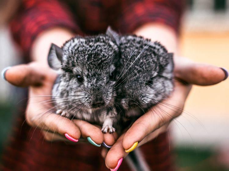 Chinchillas sind Rudeltiere und fühlen sich nur in der Gruppe wohl – Shutterstock /Helen Sushitskaya
