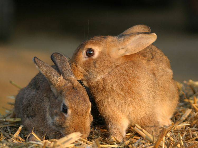 Damit sich männliche Kaninchen dauerhaft vertragen, sollten beide kastriert werden – Shutterstock / Claudia Steininger