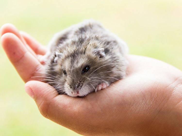 Hamster sind sehr liebenswerte Tiere, die artgerechte und liebevolle Haltung und Pflege verdienen – Shutterstock / GUNDAM_Ai
