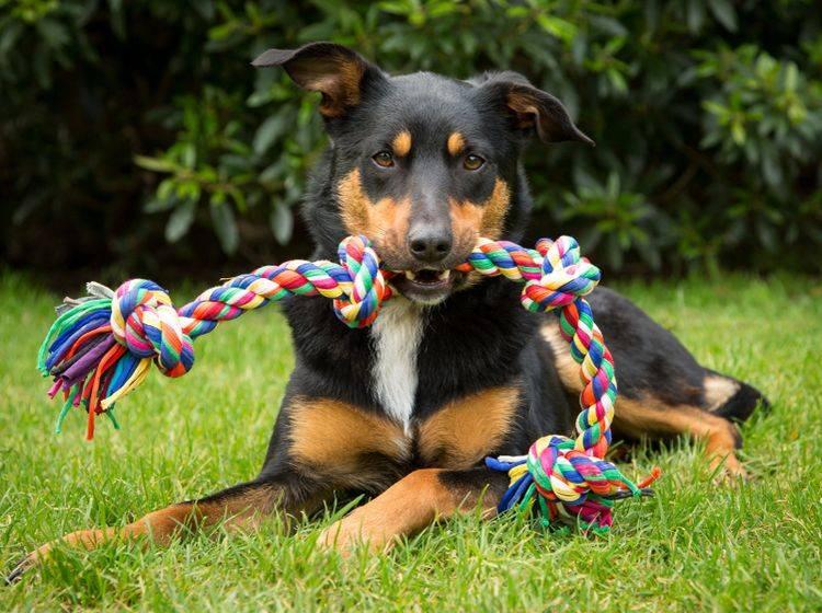 """""""Teilen? Nee, nee! Das ist mein Spielzeug – warum sollte ich das abgeben?"""", denkt sich dieser Hund vielleicht und meint es sicher nicht böse – Shutterstock / K.A.Willis"""