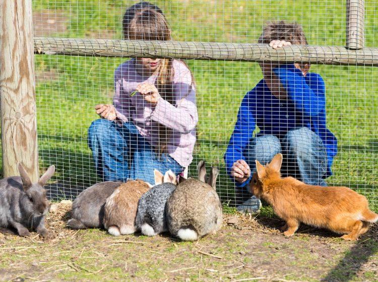 Besonders wohl fühlen sich Kaninchen unter vielen Artgenossen in einem großen Außengehege – Shutterstock / Mikkel Bigandt
