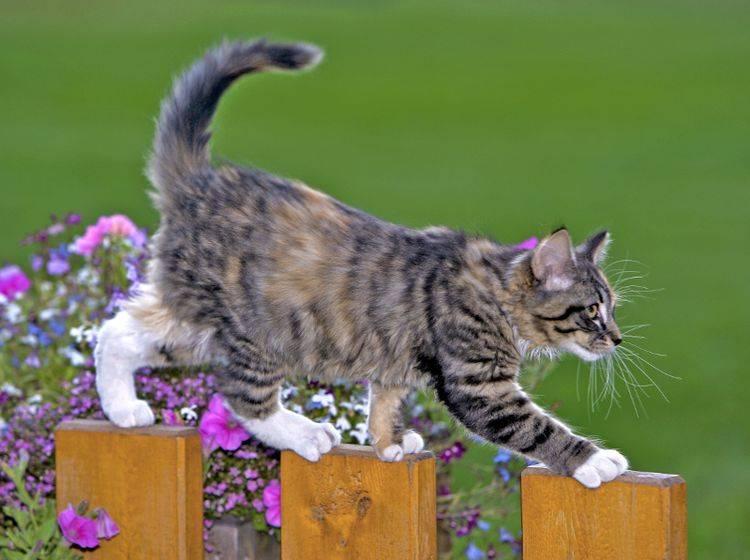 Ein schmaler Gartenzaun ist überhaupt kein Problem für Katzen – Shutterstock / rokopix