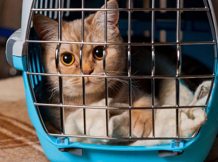 """""""Wenn ich schon zum Tierarzt muss, dann aber doch bitte in meiner geliebten Transportbox"""" – so ein Denken ist das Ziel einer jeden Transportbox-Gewöhnung – Shutterstock / photo_master2000"""