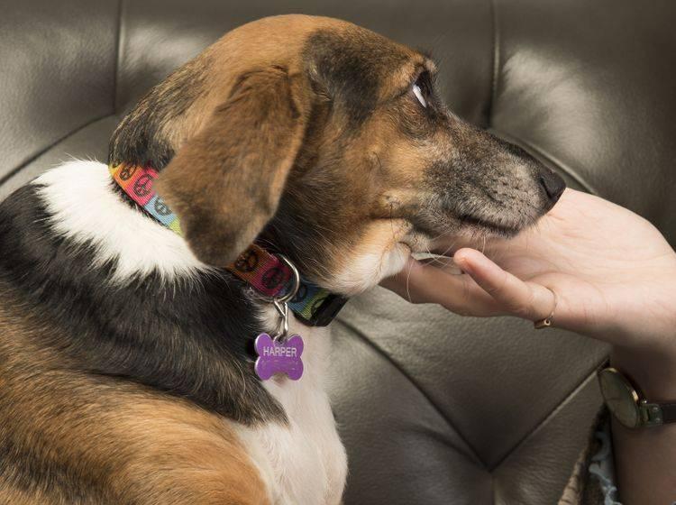 Eine klassische Übung beim Targettraining ist das Kinngeben, bei dem der Hund seinen Kopf auf die geöffnete Hand legt – Shutterstock / a katz