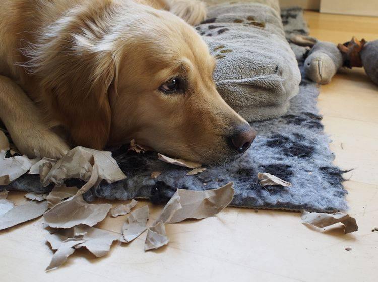 """""""Entschuldigung, ich habe mich so alleine gefühlt, weil du nicht da warst, da habe ich ein bisschen Papier zerfetzt"""": Hund mit Trennungsangst – Shutterstock / RB0"""