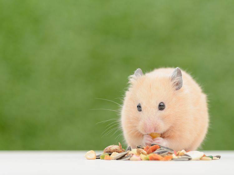 Om-nom-nom: Dieser Hamster lässt sich sein Futter schmecken – Shutterstock / stock_shot