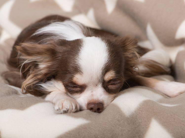 Dieser entspannte Langhaar-Chihuahua fühlt sich pudelwohl auf seiner Hundedecke – Shutterstock / Dora Zett