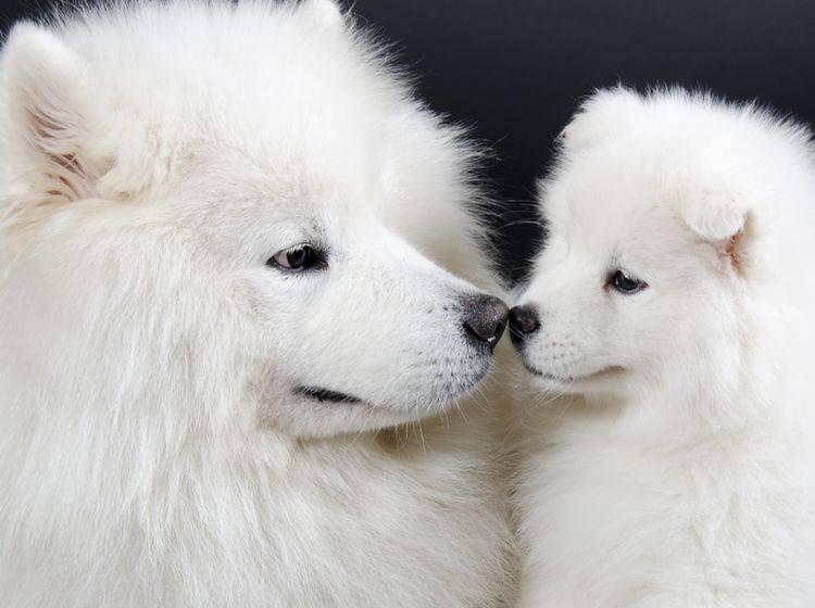 """""""Ich hab dich lieb, Mama"""", scheint dieser süße Samojede-Welpe zu seiner Hundemutter zu sagen – Shutterstock / Kirill Kurashov"""