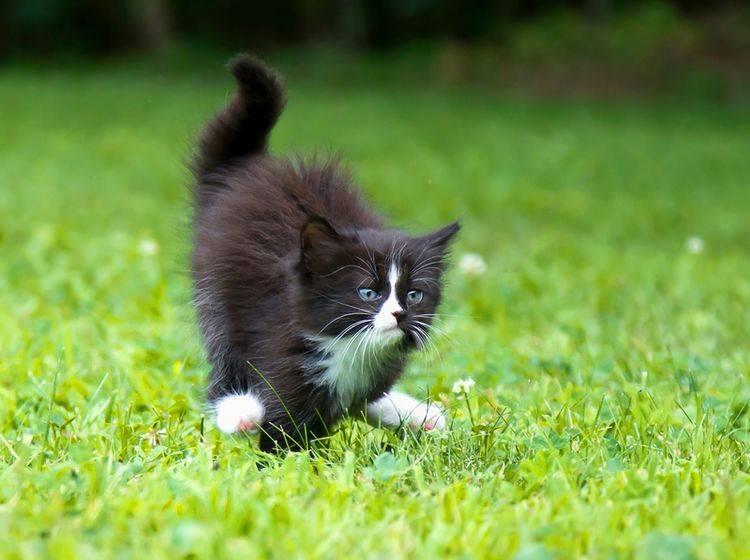 """""""Platz da, jetzt komme ich!"""": Kleine Katze rennt wie verrückt, nachdem sie ein Häufchen gemacht hat – Shutterstock / flysnowfly"""