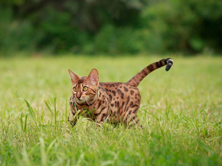 Auch wildes Umherlaufen kann Symptom von Zwangsstörungen bei Katzen sein – Bild: Shutterstock/Marythepooh